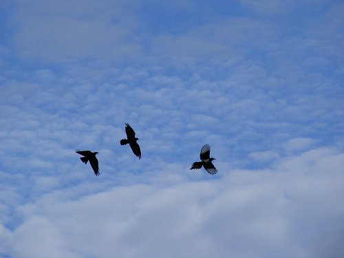 A magpie and 2 other crow cousins fanned out in flight