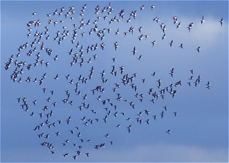 A flock of hundreds of geese flying over Dublin West