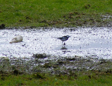 Photo of a Pied Wagtail in puddle