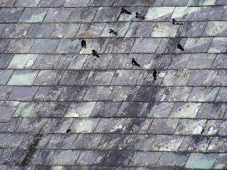 A groups of swallows and a housemartin sunbathing on a south-facing roof by my studio in Dublin