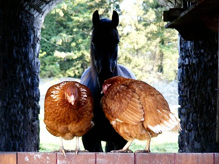 2 chickens on a half-door in front of a horse