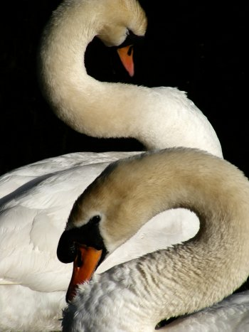 2 swans with their necks contorted