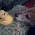 with Squeaky Duck
