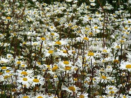 Daisies in the wild in Dublin, lots of them