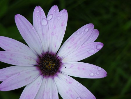 A daisy thing, flower I suppose, in the rain