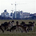 Deer in Phoenix Park Dublin