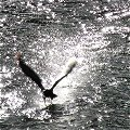 Cormorant on the River Liffey