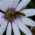 Wasp Thingy on a Daisy